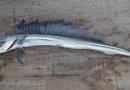 В Далечния изток на Русия откриха риба-чудовище, наречена алепозавър