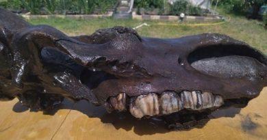 В Тоболск откриха череп на праисторически носорог